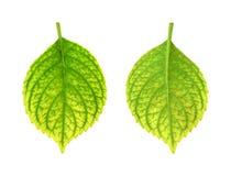 Eisenmangel des Hydrangea macrophylla Blattes - ch Stockfoto