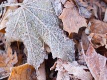Eisige Ahornblätter stockfotos