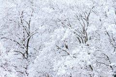 Eisige Bäume mit Schnee lizenzfreies stockbild