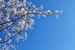 Eisige Baumaste des Winters des Winterbaums gegen blauen sonnigen Himmel Winterhintergrund mit freiem Raum für Text Stockbild