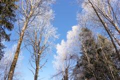 Eisige Baumkronen Stockbild