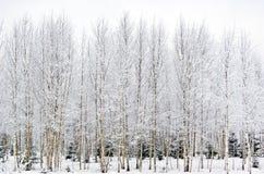 Eisige Birken Stockbilder
