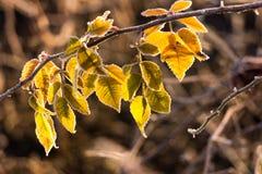 Eisige Blätter Stockbilder