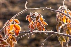 Eisige Blätter Lizenzfreie Stockfotos