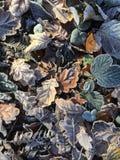 Eisige Blätter, die aus den Grund liegen Stockbild