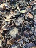 Eisige Blätter, die aus den Grund liegen Stockbilder