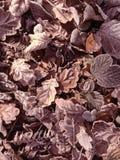 Eisige Blätter, die aus den Grund liegen Lizenzfreie Stockfotografie