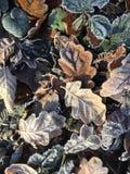 Eisige Blätter, die aus den Grund liegen Stockfotografie