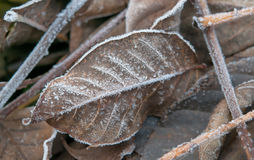 Eisige Blätter Stockfoto