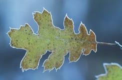Eisige Eichenblattnahaufnahme Stockfoto