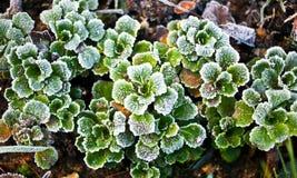 Eisige Grünblätter Stockbild