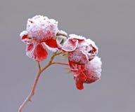 Eisige Rosen Stockbild