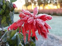 Eisige rote Anlage im Winter Lizenzfreie Stockfotos