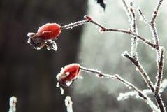 Eisige rote Hagebutten Stockbild