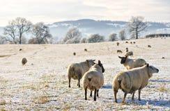 Eisige Schafe Lizenzfreie Stockfotografie