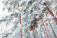 Eisige Winterlandschaft in den schneebedeckten Waldkiefernniederlassungen umfasst mit Schnee im kalten Winterwetter Stockfoto