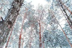 Eisige Winterlandschaft in den schneebedeckten Waldkiefernniederlassungen umfasst mit Schnee im kalten Winterwetter Stockfotografie