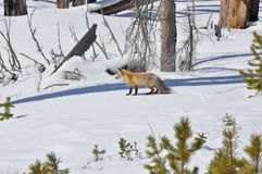 Eisiger Fox Stockbilder