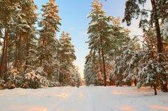Eisiger Morgen des Winters in einem Kiefernwald Lizenzfreies Stockbild