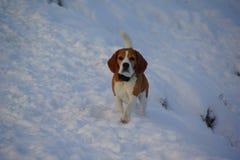 Eisiger Morgen und Hund des Winters gehen auf die schneebedeckte Flussbank Lizenzfreie Stockfotografie