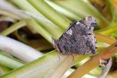 Eisiger Schmetterling auf dem Blatt Stockfoto