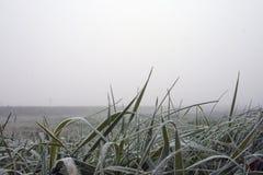 Eisiges Gras am frühen Morgen Stockbild