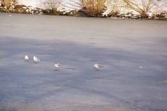 Eiskalte und weiße Vögel - Frankreich Lizenzfreies Stockbild
