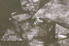 Eisschollen auf dem Fluss mit Taube, Beschaffenheit Lizenzfreies Stockbild