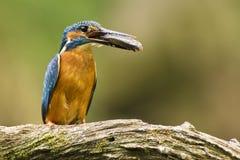 Eisvogel (Alcedo atthis) Lizenzfreie Stockbilder
