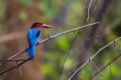Eisvogel, der auf einem Zweig sitzt Lizenzfreie Stockfotos