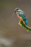 Eisvogel im Regen Stockbild