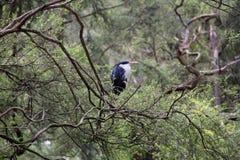 Eisvogel im Ruhezustand Stockfoto