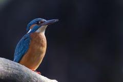 Eisvogel-Mann Lizenzfreie Stockfotos