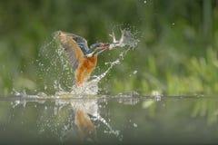 Eisvogel mit Fang Lizenzfreie Stockfotos