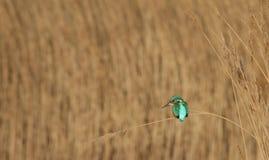 Eisvogel-Sitzen auf Reed stockfotos