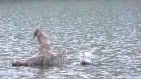 Eisvogelfischen stock video