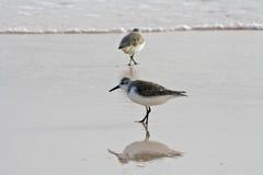 Eisvogelvogel auf dem Strand Stockfotografie