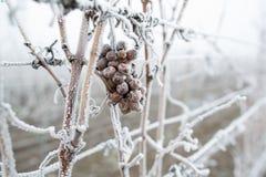 Eiswein Rote Trauben des Weins für Eiswein in Winterzustand und -schnee Gefrorene Trauben bedeckt durch weißes Flockeneis, der sü lizenzfreie stockfotos
