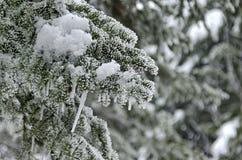 Eiszapfen am Nadelbaumbaum im Winter. Stockfoto