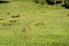 Eiszeit-Spur - Rotwild auf dem Wanderweg, der Fotografen betrachtet stockbilder