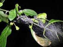 Eixo Ermine Moth Caterpillars Foto de Stock Royalty Free