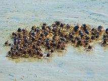 Ejército de cangrejos Imágenes de archivo libres de regalías