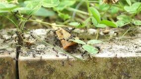 Ejército de la hormiga almacen de metraje de vídeo