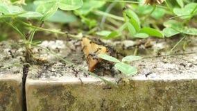 Ejército de la hormiga almacen de video