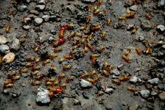 Ejército de la hormiga Imagen de archivo libre de regalías