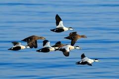 Ejder Somateriamollissima, flock av fåglar, härliga havsfåglar som flyger ovanför mörkret - blått havsvatten, Helgoland royaltyfria foton