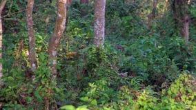Eje de Chital o de Cheetal AXIS, también conocido como los ciervos manchados o ciervos de AXIS que pastan en bosque almacen de video