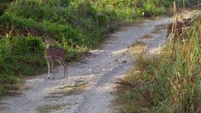 Eje de Chital o de Cheetal AXIS, también conocido como los ciervos manchados o ciervos de AXIS que pastan en el camino en el parq almacen de video