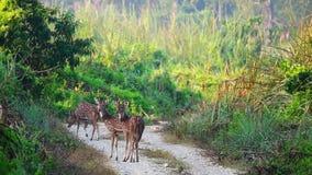 Eje de Chital o de Cheetal AXIS, también conocido como los ciervos manchados o ciervos de AXIS que pastan en el camino en el parq almacen de metraje de vídeo