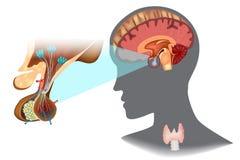 eje Hipotalámico-pituitario de la tiroides libre illustration